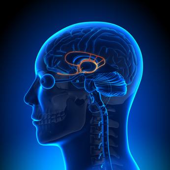 limbic region of the brain